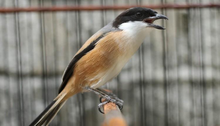 Kitolot Plus Sebagai Produk Herbal Anti Radang Katarak Dan Infeksi Mata Terhadap Burung Ocehan Dan Hewan Sejenis Lain