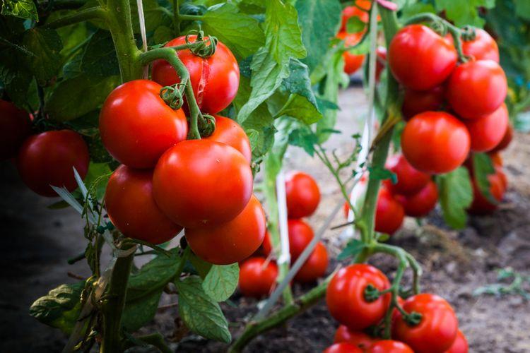 Cara Menanam Tomat di Polybag